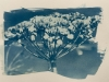 Cyanotype image by Loraine Waites