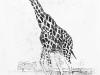 Giraffe waiting for the long ball.